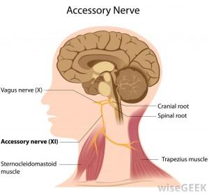 accessory-nerve-diagram